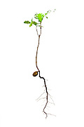 Studio photograph of an oak sapling including it's acorn and roots.