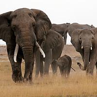 Africa, Kenya, Amboseli. Matriarch elephant and family approaching head on.