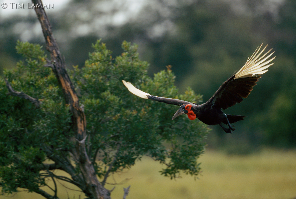 A southern ground hornbill in flight