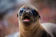 A Galapagos Sea lion pup (Zalophus wollebaeki), Rabida Island, Galapagos Islands, Ecuador