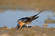 Red-rumped Swallow ( Hirundo daurica) gathering mud for nest building, Bulgaria