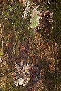 Marbled Treefrog (Dendropsophus marmoratus)<br /> Napo River bordering Yasuni National Park, Amazon Rainforest<br /> ECUADOR. South America<br /> RANGE: Bolivia, Brazil, Colombia, Ecuador, French Guiana, Guyana, Peru, Suriname, Venezuel