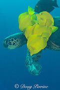 green sea turtle, Chelonia mydas ( Threatened Species ) being cleaned of algae by yellow tangs, Zebrasoma flavescens, Puako, South Kohala, Kona Coast, Hawaii ( Central Pacific Ocean ); cropped
