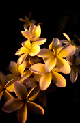 Image detail of a tropical flower on Bora Bora, French Polynesia by Randy Wells