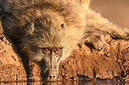 Trinkender Bärenpavian oder Tschakma (Papio ursinus) im Schutzgebiet Tuli Block, Botswana<br /> <br /> Drinking Chacma baboon (Papio ursinus) in the private game reserve Tuli Block, Botswana