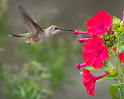 Female black-chinned hummingbird feeds on Four-O'clock flower, Rio Rancho, New Mexico