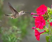 Female black-chinned hummingbird feeds on Four-O'clock flower, Rio Rancho, New Mexico