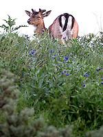 ZANDVOORT - Birdwatching - Vogelteldag   op de Kennemer Golf & Country Club. Een damhert op de baan. Een natuurvriendelijk en milieubewust beheerd golfterrein biedt voor de golfer een interessante en uitdagende omgeving en bevordert de beeldvorming van de golfsport als een 'groene' sport.  Het beleid kent drie programma's: Committed to Green, Golfers love Birdies en Green Deal. COPYRIGHT KOEN SUYK