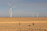 Pheasants Hunting Near A Wind Farm in Eastern South Dakota
