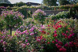 Roses in the Lion Garden including Rosa 'Thomas A Becket' syn. 'Auswinston', Rosa 'Harlow Carr' syn. 'Aushouse' and standard Rosa 'Anne Boleyn' syn. 'Ausecret'