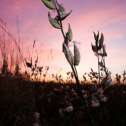 Milkweed pods and a sunrise sky at the Surrenden Farm in Groton, MA.
