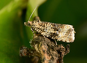 Close-up of a Woodland Marble moth (Orthotaenia undulata) resting on dead foliage in a Norfolk garden in summer.