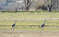Two Sandhill Cranes, Grus canadensis, in a meadow at Klamath Wildlife Area, Oregon
