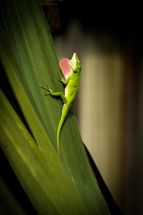 Green anole lizard with dewlap extended, climbs a sago palm tree, Houston, Texas
