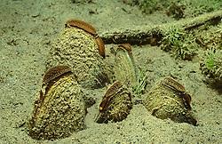 Anodonta cygnea, gewöhnliche Teichmuschel, Weiher Muschel, swan mussel, Lunzer See, Österreich, Austria