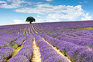 Violet furrows of lavender plants