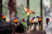 Rainbow Lorikeets on a barbed wire fence at the Mataranka Homestead, N.T. Australia.
