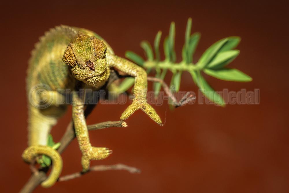 Chameleon with a fly on the nose   Kamelon med en flue på nesa.