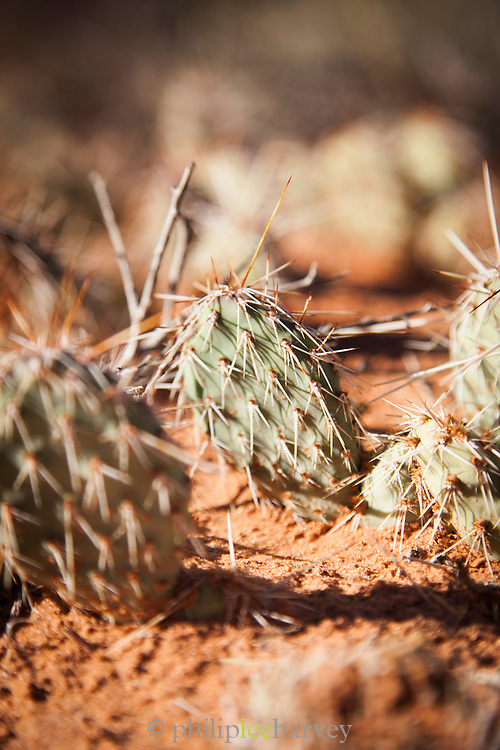 Cactus formation on a rock in Arches National Park, Utah, United States of America