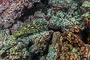 Flag cabrilla (Epinephelus labriformis)<br /> Bartolome Island<br /> Galapagos<br /> Ecuador, South America<br /> ENDEMIC TO GALAPAGOS