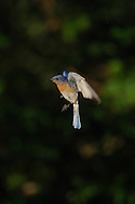 This is a male Eastern Bluebird almost hovering while in flight in upstate, NY.