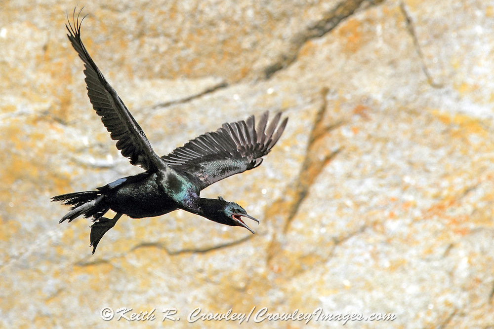 Pelagic cormorant in coastal habitat on Resurrection Bay, Alaska