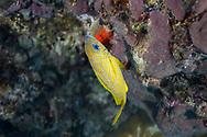 Snappers fish-Vivaneaux (Lutjanidae), Playa del carmen, Yucatan peninsula, Mexico.