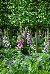 Digitalis purpurea. Foxgloves. RHS Chelsea Flower Show 2016, The Husqvarna Garden,  Designer: Charlie Albone