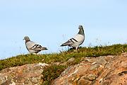 Rock dove, Columba livia, pair on coastal cliff, Culduie, Applecross, Ross-shire, Highland.