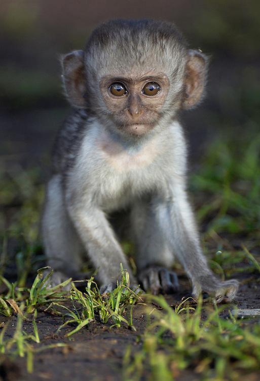 Green vervet monkey, Chlorocebus pygerythrus, Serengeti NP, Tanzania