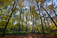 Autumn Beeches in Stoke Wood, Oxfordshire