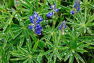 Raindrops on lupine wildflowers on Werner Peak, Stillwater State Forest, Montana, USA