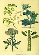 Epimedium alpinum [Barrenwort] Eryngium maritimum [Sea Eringo] Eupatorium cannabinum [Hemp agrimony] Euphorbia neriifolia [Oleander-leaved spurge] from Vol 1 of the book The universal herbal : or botanical, medical and agricultural dictionary : containing an account of all known plants in the world, arranged according to the Linnean system. Specifying the uses to which they are or may be applied By Thomas Green,  Published in 1816 by Nuttall, Fisher & Co. in Liverpool and Printed at the Caxton Press by H. Fisher