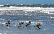 Falkland Streamer Ducks (Tachyeres brachypterus) walking to sea in heavy wind at Sea Lion Island, the Falklands.