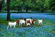 Goats traversing a bluebonnet meadow, Rossville, Texas