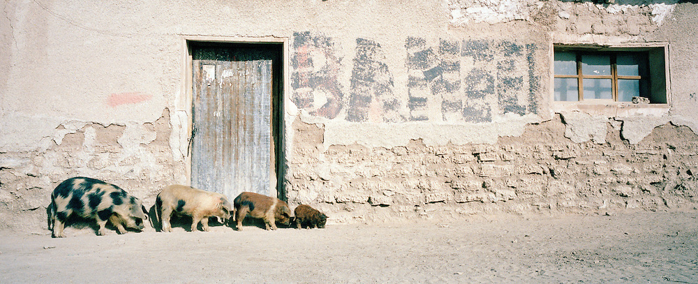 Pigs shuffling around small market town, Bolivia