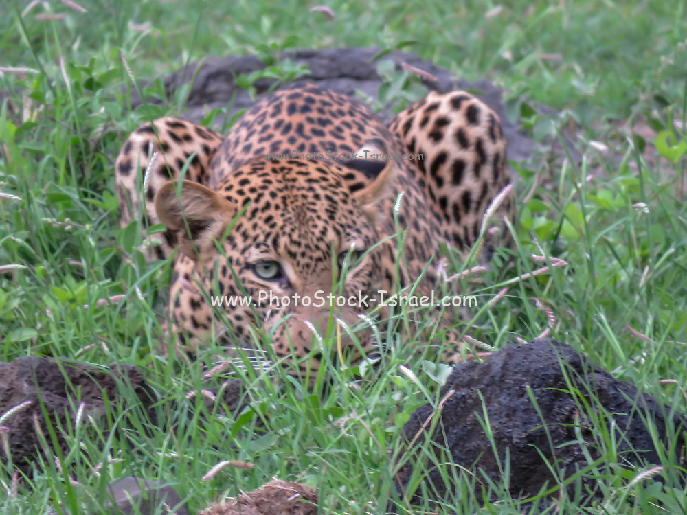 Alert Leopard (Panthera pardus) hidden in the grass waiting for prey. Photographed in Tanzania, Africa