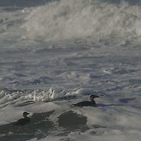 Scoter ducks float in the Pacific Ocean surf near Pescadero, California.