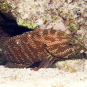 Grasby inhabit reefs in Tropical West Atlantic; picture taken Roatan, Honduras.