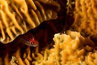 Red-headed Goby (Elacatinus puncticulatus)<br /><br />Coiba Island<br />Coiba National Park<br />Panama<br /><br />Mona Lisa dive site