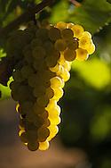 Chardonnay grapes at sunset. Oakville, California. Beringer Vineyards Gamble Ranch.