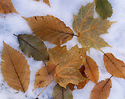 Pattern of autumn leaves fallen on first snow of the season in mid-October, Lake Superior Provincial Park, Ontario, Canada.