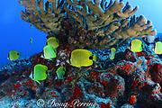 milletseed butterflyfish, Chaetodon miliaris, Hawaiian endemic species, under antler coral, Pocillopora grandis, Lehua Rock ( near Niihau Island, off Kauai ), Hawaii, USA ( Central Pacific Ocean )