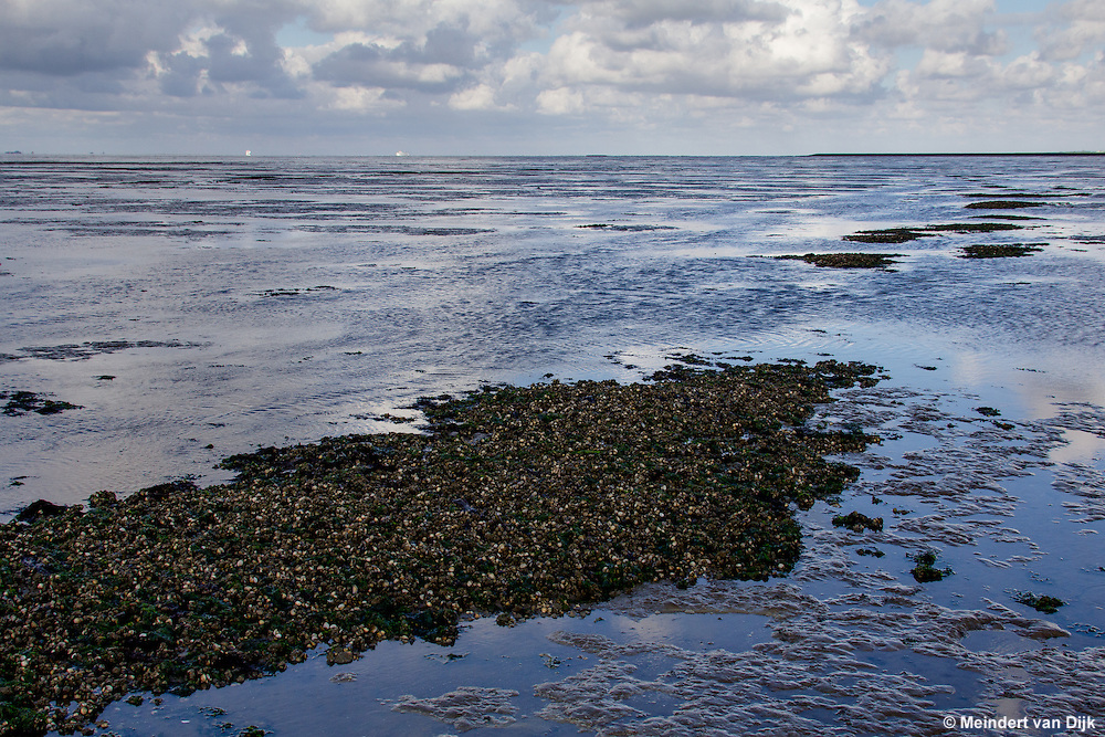 Mosselbanken in Oostelijk Waddengebied   Mussel banks in eastern Wadden Sea
