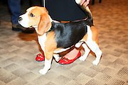 RJ the Beagle at The133rd Westminister Kennel Club Dog Show Press Conference announcing The Dogue De Bordeaux debut at the Westminister Kennel Club Dog Show held at the Pennsylvania Hotel Sky Top Ball Room on February 5, 2009 in New York City
