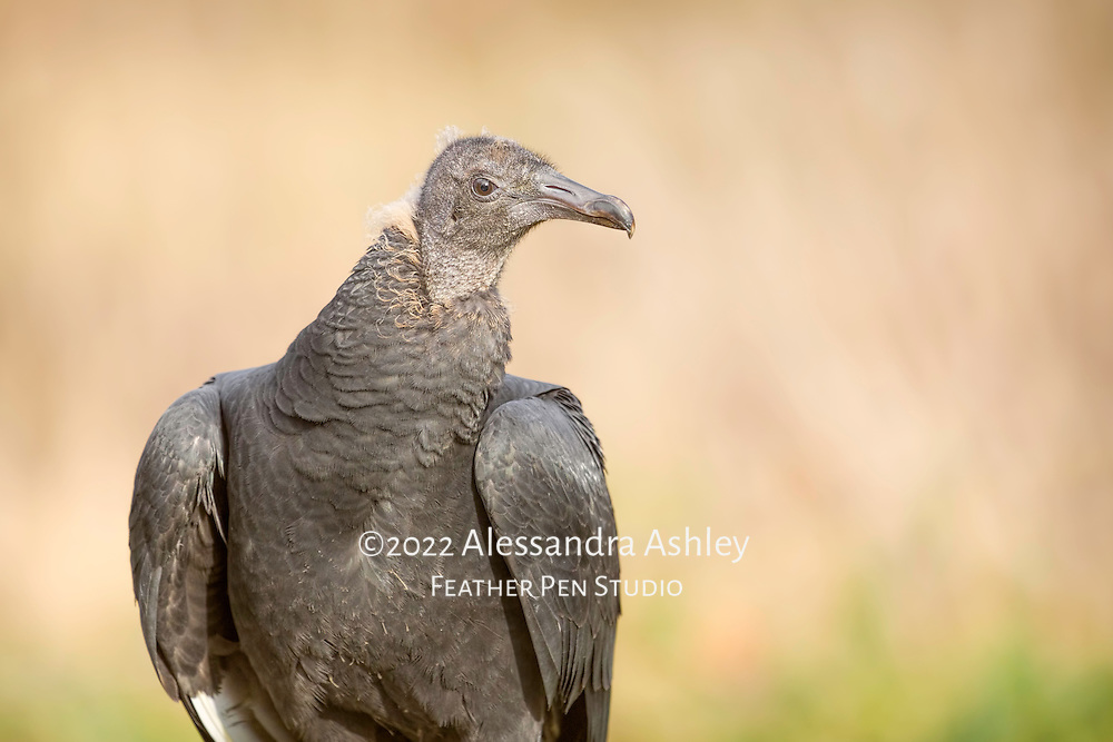 Young black vulture shows off dark gray plumage and powerful beak.