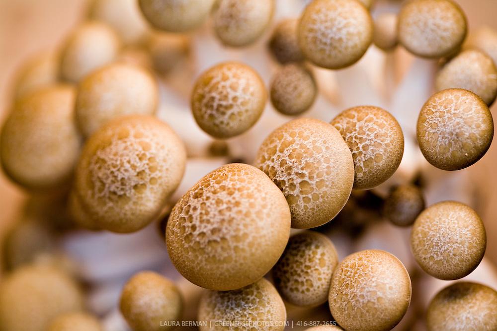 Hon-shimeji,  or honey, mushrooms grown by Fun Guy Farm's,at the Dufferin Grove farmers' market in Toronto, Canada
