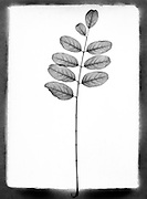 Leaves on a stem against a white background