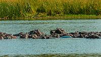Hippos, Kwando Concession, Linyanti Marshes, Botswana.