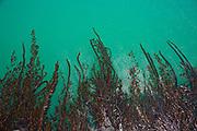Kelp off of pier at San Simeon State Beach, San Luis Obispo County, California, USA
